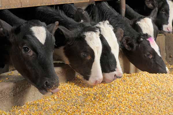 دانلود پاورپوینت تغذیه روزانه گوساله