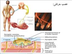 پاورپوینت آناتومی و حرکت شناسی