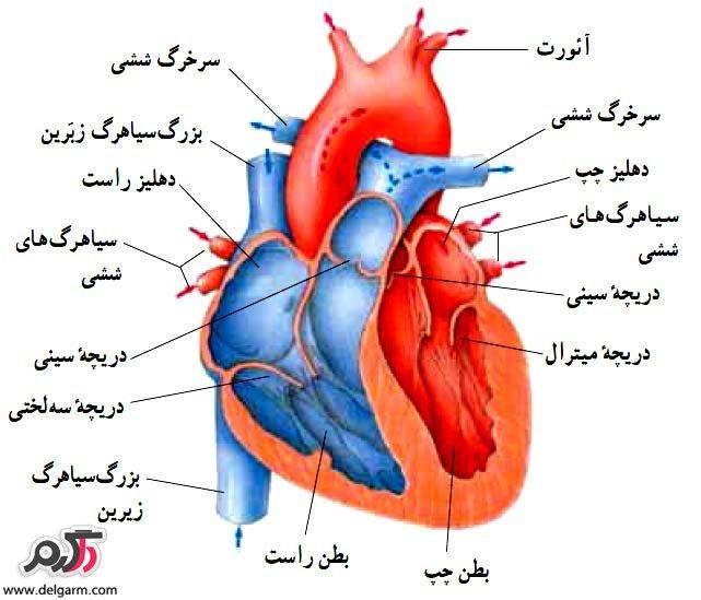 قلب و عملکرد آن